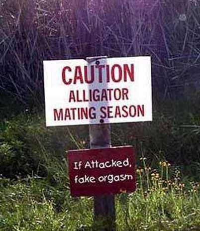 alligatormating season
