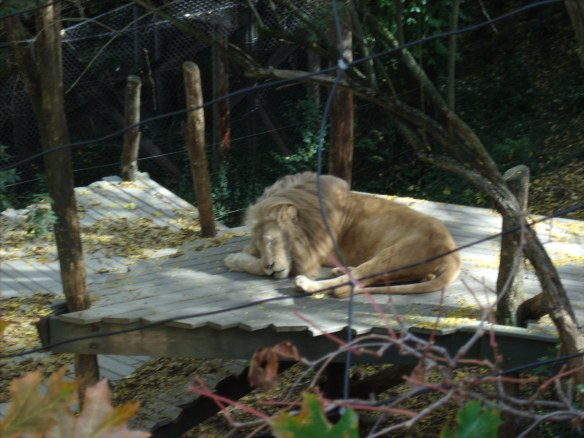 just lion around taking a snooze
